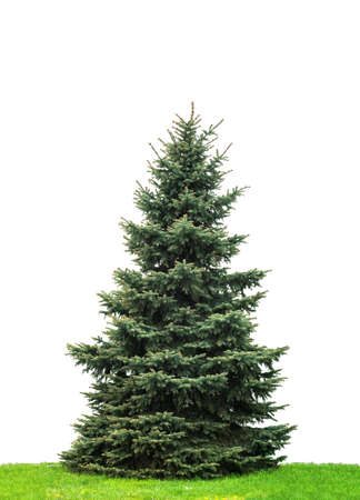 Big green fir tree with lawn isolated on white background. Tall natural christmas tree cut out