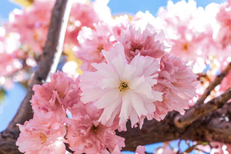 Close up of pink flowers on blooming sakura. Blossom cherry tree branch