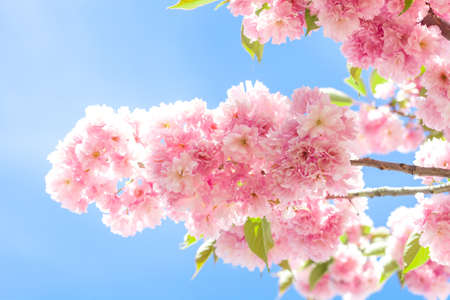 Branch of pink flower on blooming sakura. Blossom cherry tree by blue clear sky