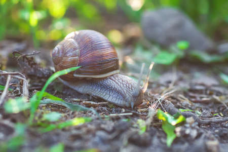Garden snail crawling in spring forest. Large slimy slug in shell moving on ground, selective focus 写真素材