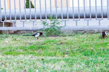 Magpies on green lawn. Pica pica or european magpie bird walking in grass