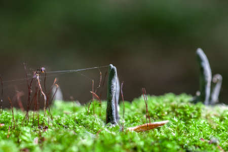 Dead Mans Fingers black fungus growing in green moss. Xylaria polymorpha in summer forest