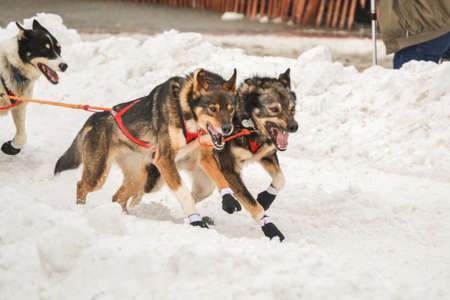 Huskies starting the Iditarod Race photo
