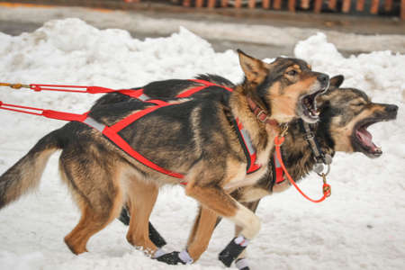 howl: Iditarod Howl
