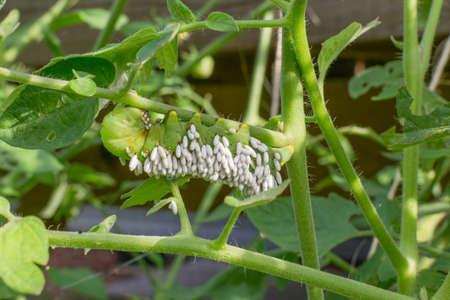 larvae: Tomato hornworm with braconid wasp larvae Stock Photo