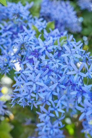 Queens Wreath Flowering Vine