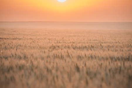 Twilight Wheat Field photo