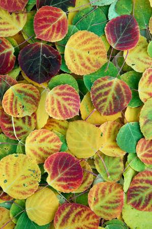 tremante: Aspen, un albero di pioppo famiglia, comune nel nord degli Stati Uniti e in Europa, con foglie che fruscio e flutter nella brezza