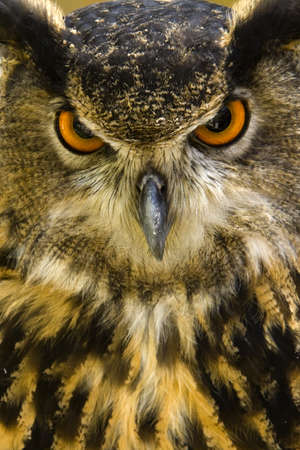 The Eurasian Eagle-owl or Bubo bubo is a species of eagle owl. This large bird lives thru out Europe and Asia.