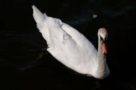 White swan floating on black river water