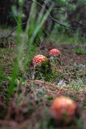 toadstools in the pine forest Stock fotó