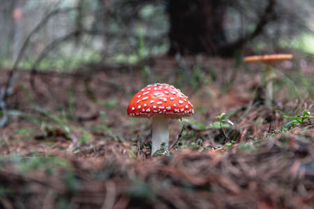 toadstools in the pine forest 免版税图像