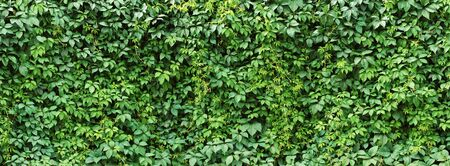 foliage plant background. hedge wall of green leaves.