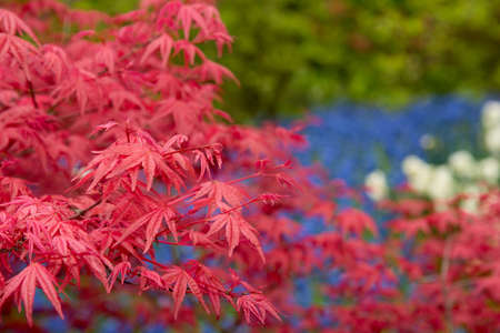 Red Fall Leaves, Japanese Maple with blurry background. Stock Photo