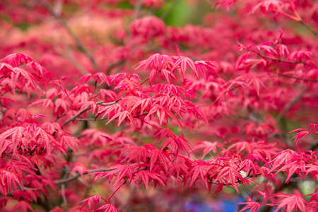 Background of red acer leaves in park.