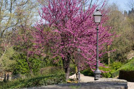 Judas tree or European redbud (Cercis siliquastrum L.) with forged lantern. Boboli Gardens, Florence, Tuscany, Italy.