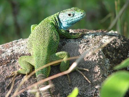 Lizard king photo