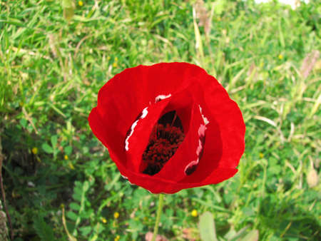 poros: Poppy flower at Poros island