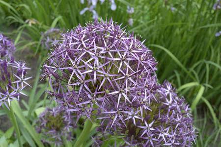 botanics: Garlic flowers
