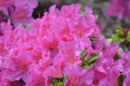 botanics: Rhododendron flower