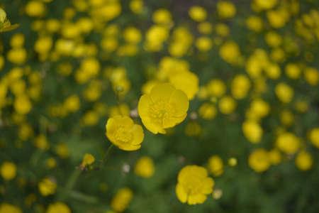 champ de fleurs: Fleurs des champs jaunes Banque d'images