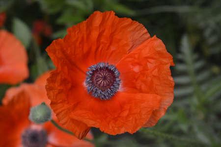 botanics: Red chinese poppy flower
