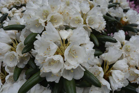 botanics: White rhododendrons