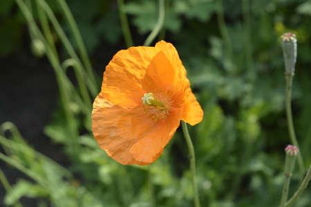 wroclaw: poppy flower
