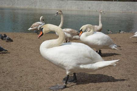 wroclaw: Swans in Wroclaw