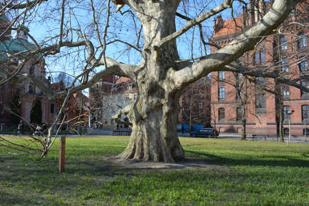 wroclaw: Old oak tree in Wroclaw Stock Photo