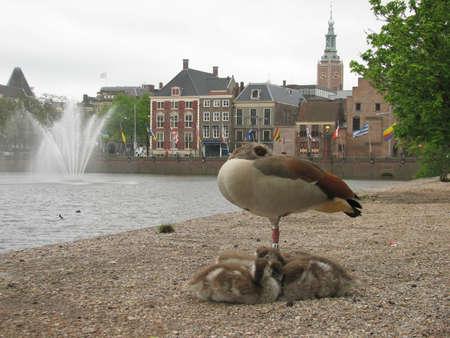 'the hague': Ducks in the Hague