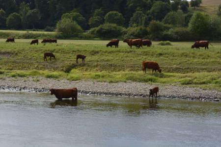 elba: Cows in the river Elba Stock Photo