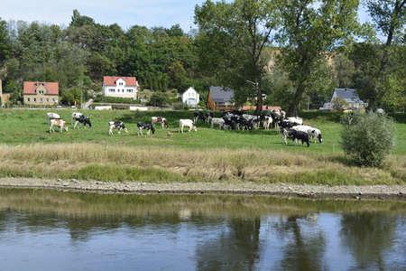 elba: Cows by the river Elba Stock Photo