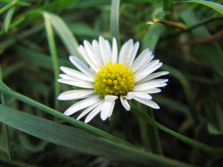 lviv: Small white flower in Lviv Stock Photo