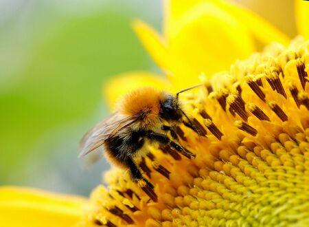Bumblebee on a sunflower photo