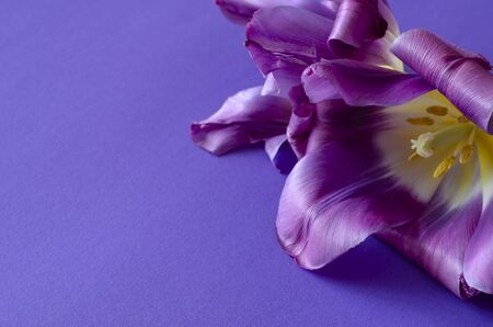Lilac tulips close-up. Elegant buds of spring flowers on a light blue background. Eye level shooting. Selective focus.