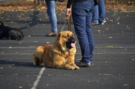 Big Brown Caucasian Shepherd Dog. Stock Photo