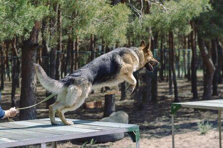 Agility dog activities. Dog training. German Shepherd jump through the training bridge. Service dog breeding. Special fenced area for dog training. Sport. 스톡 콘텐츠