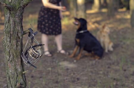 Woman is playing in the forest with a rottweiler and a red mixed breed dog. Playing with the ball during a morning walk. Focus on the muzzle hanging on a branch. Love for pets.