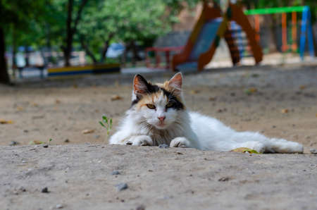 Portrait of a street tricolor cat lying on the ground. A homeless cat basking in the summer sun. Shooting at eye level. Selective trick.