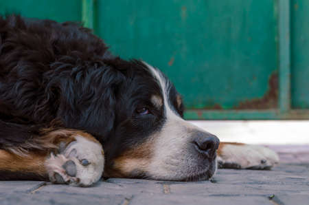 Portrait of a Bernese Mountain Dog sleeping on a paving slab. A 10-year-old pet is napping in the front yard of the cottage. Close-up. Selective focus.