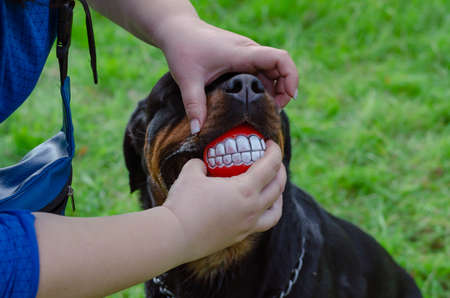 Female hands in fingerless gloves and rottweiler with smile ball in the mouth. Dog is holding red toy with aainted wide smile. Fun walk with your pet in the dog park. 免版税图像