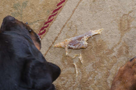 Dog's chewed up dental treats are on the carpet. Black pet is lying next to it. Top view of Rottweiler crumbling dried beef tendon.