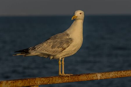 The Caspian gull (Larus cachinnans) is a large gull and a member of the herring and lesser black-backed gull complex. The scientific name is from Latin. Larus appears to have referred to a gull or other large seabird, and cachinnans means
