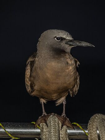The brown noddy or common noddy (Anous stolidus) is a seabird in the family Laridae. The largest of the noddies, it can be told from the closely related black noddy by its larger size and plumage, which is dark brown rather than black.  on the ground.