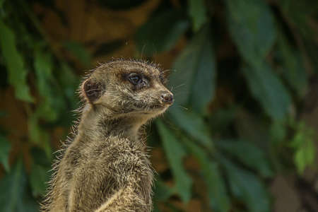 The meerkat (Suricata suricatta) stands with a pillar and turns its head in different directions. Can be used as a direction indicator. Its a small mongoose and the only member of the genus Suricata