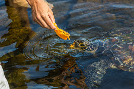 Man feeds a green sea turtle (Chelonia mydas) with a piece of papaya. It also known as the green, black (sea) or Pacific green turtle, is a species of large sea turtle of the family Cheloniidae 免版税图像