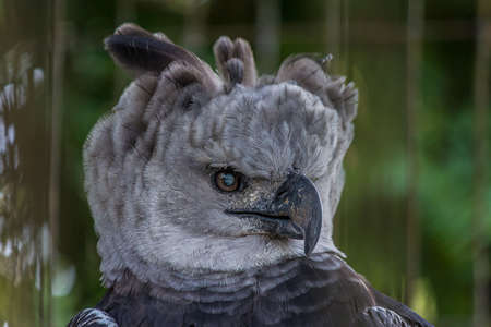 The harpy eagle (American harpy eagle, Harpia harpyja) is a neotropical species of eagle. In Brazil, the harpy eagle is also known as royal-hawk. It usually inhabits tropical lowland rainforests Stok Fotoğraf