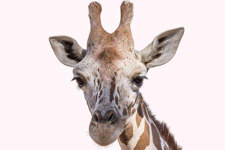 The Angolan giraffe (Giraffa giraffa angolensis), also known as the Namibian giraffe, is a subspecies of giraffe that is found in northern Namibia Archivio Fotografico