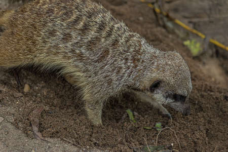 The meerkat (Suricata suricatta) digs a hole. The meerkat is a small mongoose and the only member of the genus Suricata. Its lives in the Desert in Botswana, Namibia, Angola, and in South Africa